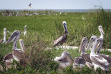 Life On Beacon Island-A Return Of The Pelicans To The Outer Banks