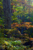Mid Morning Light On Forest Foliage