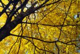 A Canopy Of Yellow