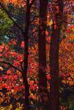 Back Lighting On Red Leaves
