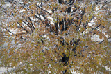 Drillfield Maple With Snow