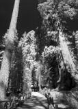Sequoia #2
