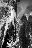 Sequoia #1