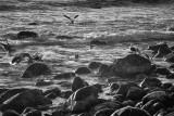 Sea Gulls: A California Coast Evening