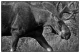 Bull Moose, Colorado