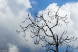Dead Limb with Clouds
