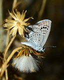 Reakirt's blue on a dried up groundsel