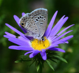 reikerts blue on tansy aster