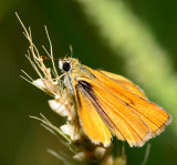 Small Skipper on grass seed stalk