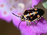begrada bug