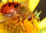 Beelike Tachinid fly