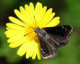 Common Sootywing on camphor daisy