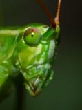 katydid portrait