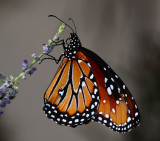 Queen butterfly looks a lot like a Monarch..