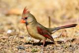 Cardinal at the feeding station