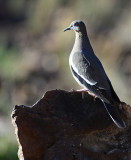 whitewing dove