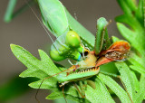 assassin bug gets assassinated by Bordered Mantis