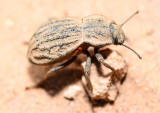 darkling beetle with mite