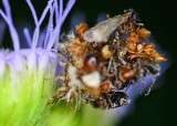 Lacewing larvae with bug shells for camo