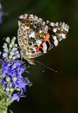 Painted Lady in the yard.