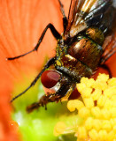 fly on globe mallow