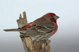 House finch in the yard.