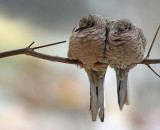 Inca doves on a cold morning
