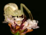 crab spider on frog fruit