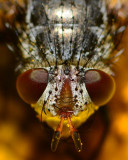 Tachinid portrait