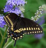 Black swallowtail in the yard.