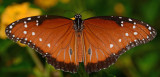 Queen butterfly (male, Midland Texas)
