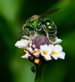 Metallic Green Bee on Frogfruit flower