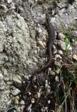 Texas Alligator Lizard