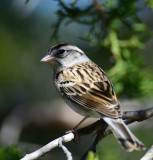 Chipping Sparrow at South Llano River State Park, Texas
