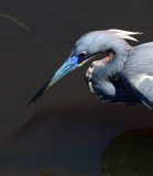 Tricolored heron at Brazos Bend SP.