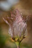 Plume of Apache Plume