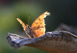 tattered question mark butterfly.