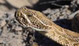 Prairie rattlesnake just north of town.