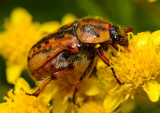 flower scarab beetle eating and pollinating.