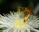 European honey bee on stickleaf flower