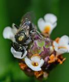 Sweat bee on frog fruit flower