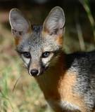 Gray fox with blue eyes in my yard.