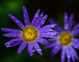 Tansy Aster after a shower.