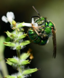 metallic green sweat bee