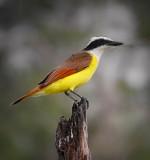 Great Kiskadee at the Salineno Birding Area.
