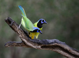 Green Jays at the Salineno Birding Area.