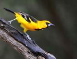 Altamira Oriole at the Salineno Birding Area.