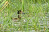 Sarcelle d'hiver (Green-winged teal)