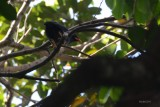 Mainate religieux (Common Hill Myna)