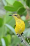 Famille Nectariniidae-Souimanga-Sunbirds